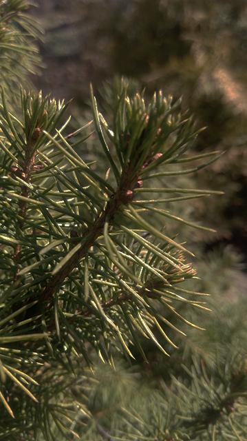 Густые ветви ели Коника