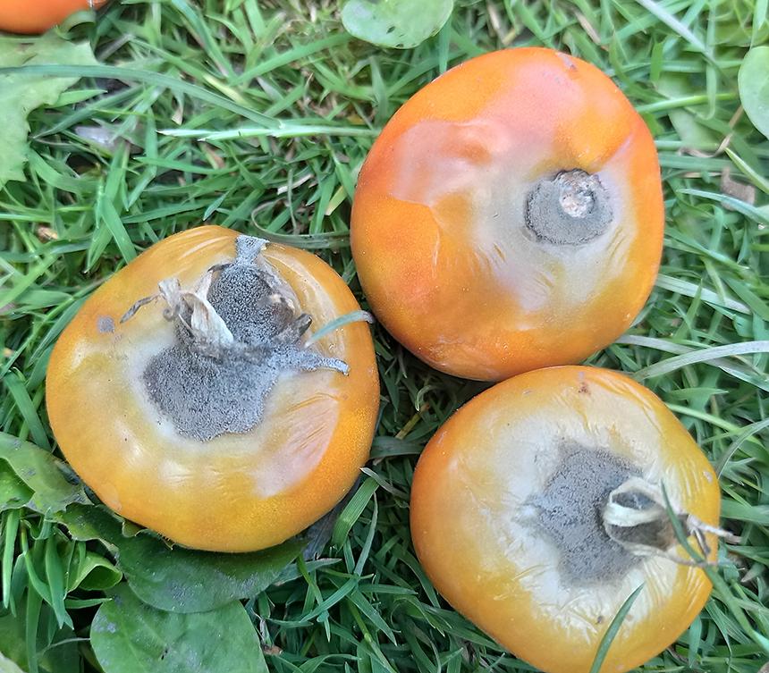 Описание болезней томатов