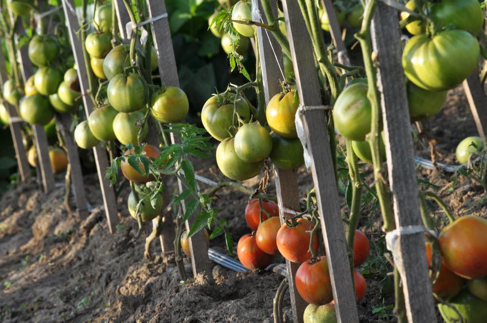 Выбирайте колышки с учетом возможного роста куста. Рекомендуется брать колышки, которые выше роста растений на 20–25 см.