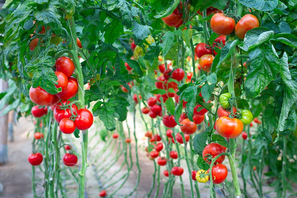 Подвязанные помидоры удобнее собирать, поливать и, в целом, ухаживать за ними.