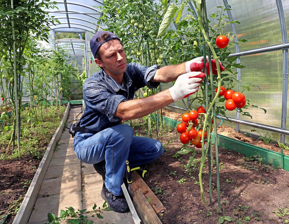 Если кусты помидоров плодоносят обильно, лучше использовать для опоры не веревки, а прочные колышки