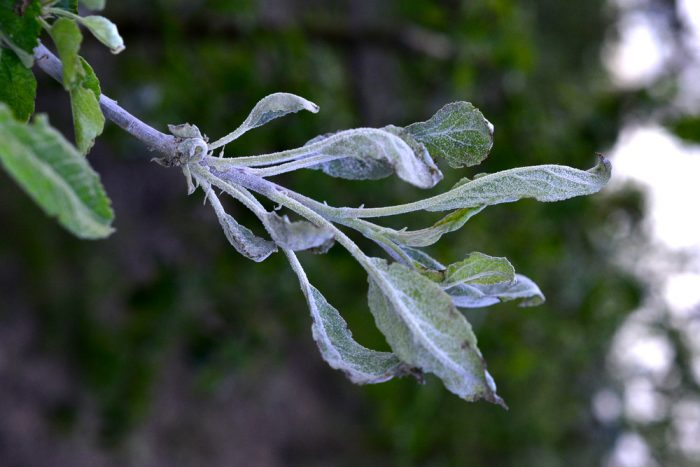 Груша мучнистая роса