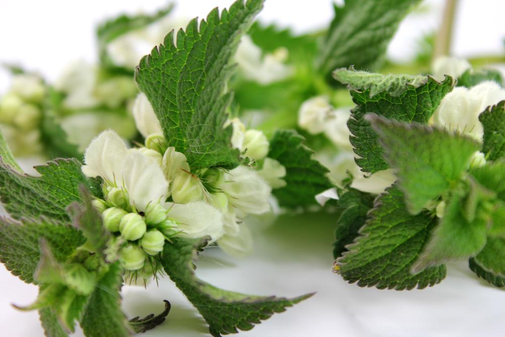 Можно выращивать глухую крапиву и в цветочном горшке, кадке или кашпо