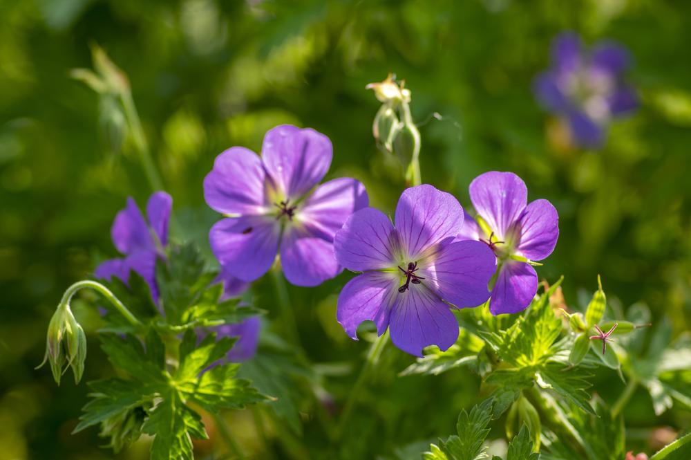 Герань долго и красиво цветет почти до самых морозов