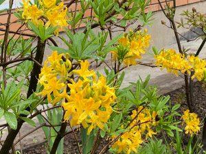 Рододендрон желтый Лютеум