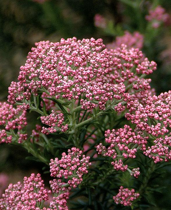 Озотамнус имеет разновидности, которые отличаются высотой, ароматом и окраской цветков