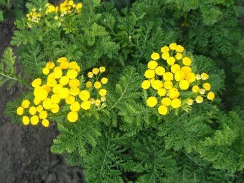 пижма цветок