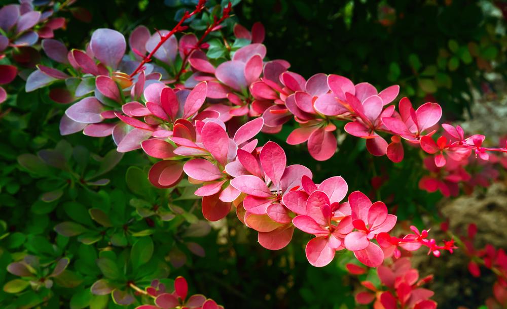 Барбарис красиво цветет весной и привлекает пчел. Растение — хороший медонос.