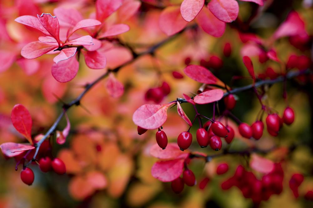 Ягоды на семена нужно собирать осенью, когда они полностью созреют. Сделать это лучше до заморозков.