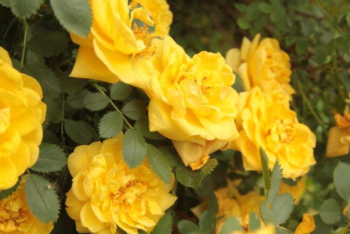 розы клаймбер