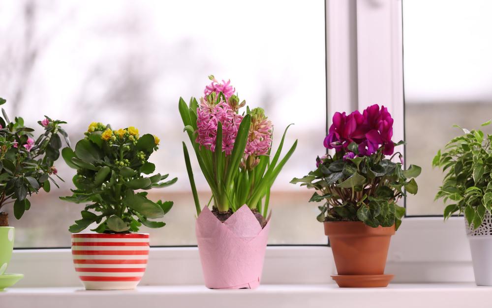 Не поливайте и подкармливайте растение дополнительно, пока идет лечение