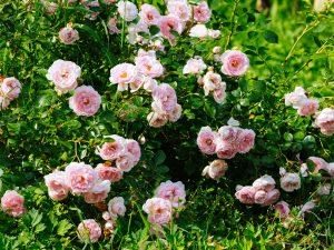 Каркасный способ подойдет для плетистых роз, которые находятся на арках