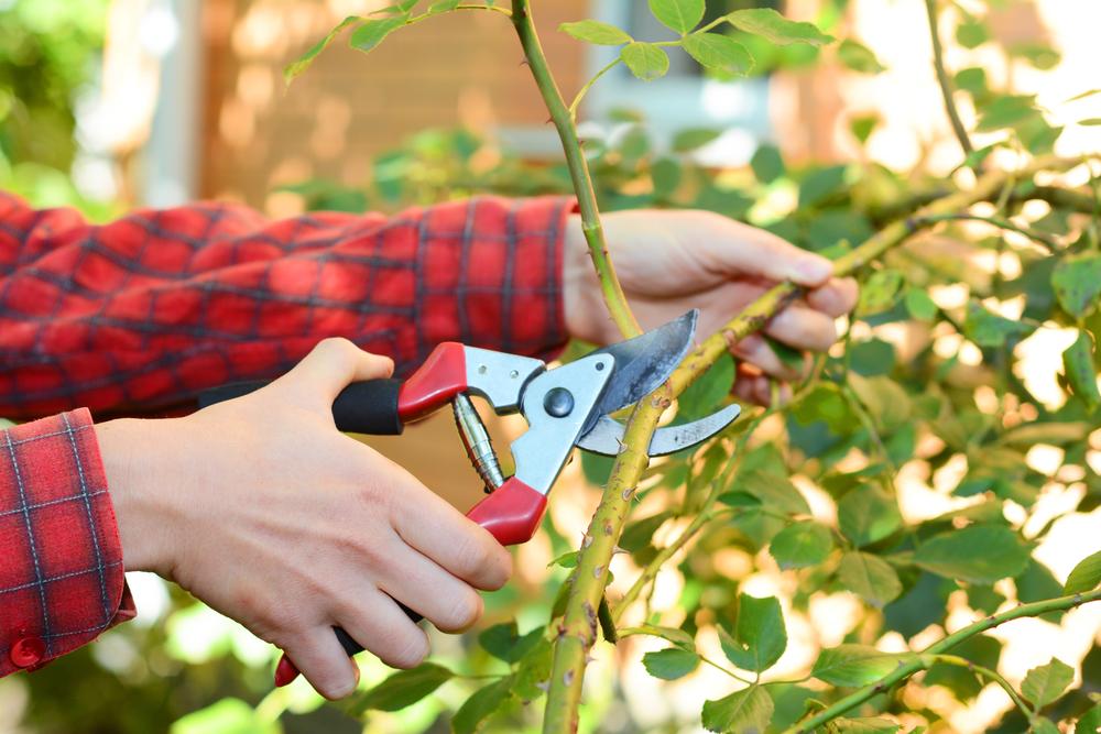 Плетистые розы не требуют обрезки на зиму, но засохшие и больные ветви лучше удалить