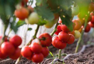 Подвяжите томаты так, чтобы плоды не соприкасались с землей