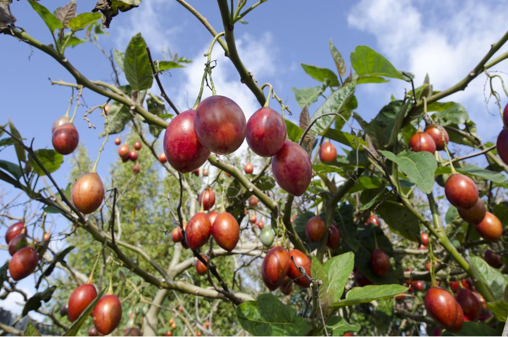 Все сорта томатного дерева устойчивы к болезням и не боятся насекомых