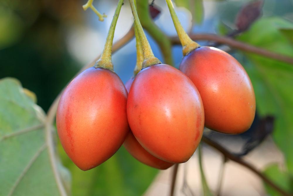 С одного дерева тамарилло собирают до 15 кг урожая