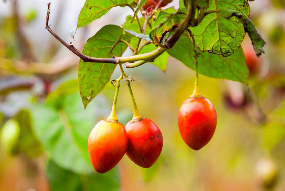 После прорастания росткам тамарилло нужно дать больше солнечного света