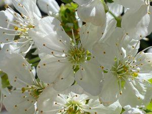 Цветки вишни Шоколадница