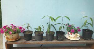 Саженцы манго