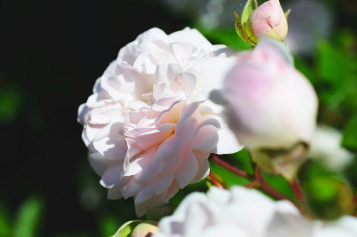 роза клаймбер