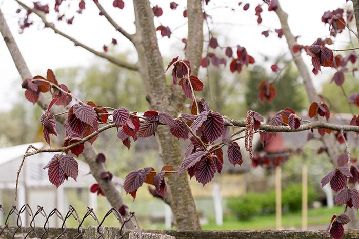 Фундук - это однодомное ветроопыляемое растение