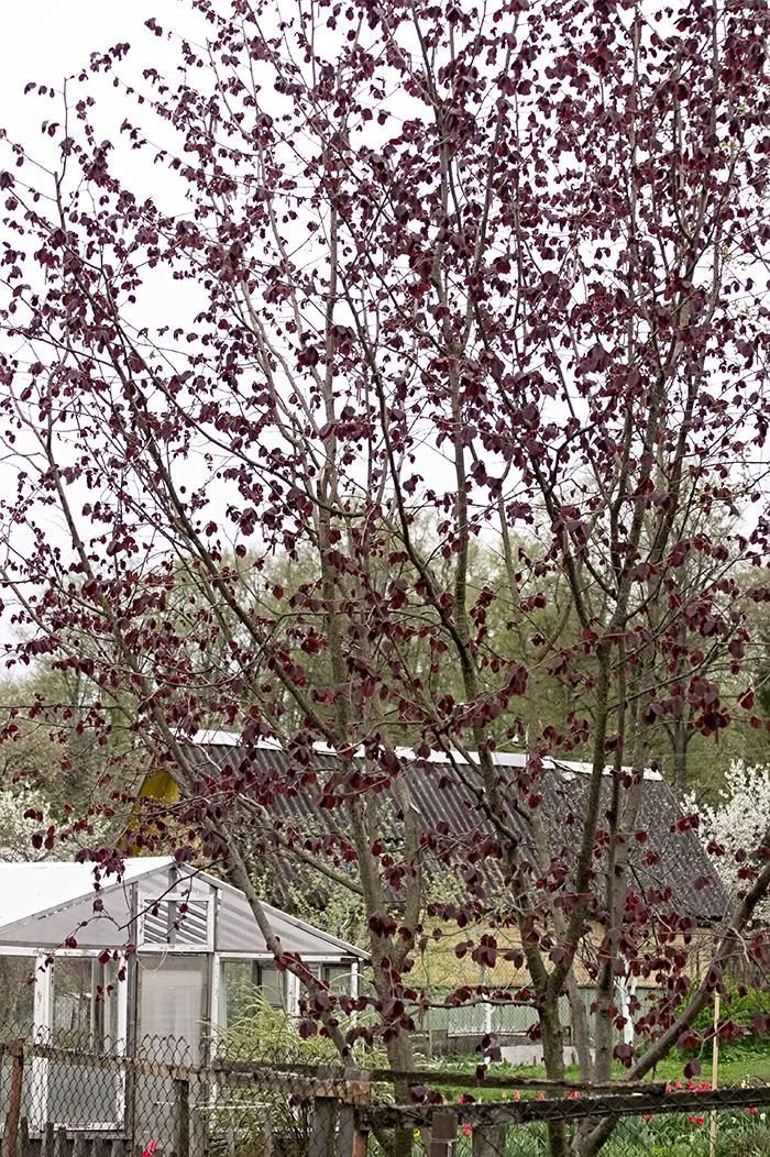 Гибридная краснолистная форма фундука. Дерево 10-ти летнего возраста.