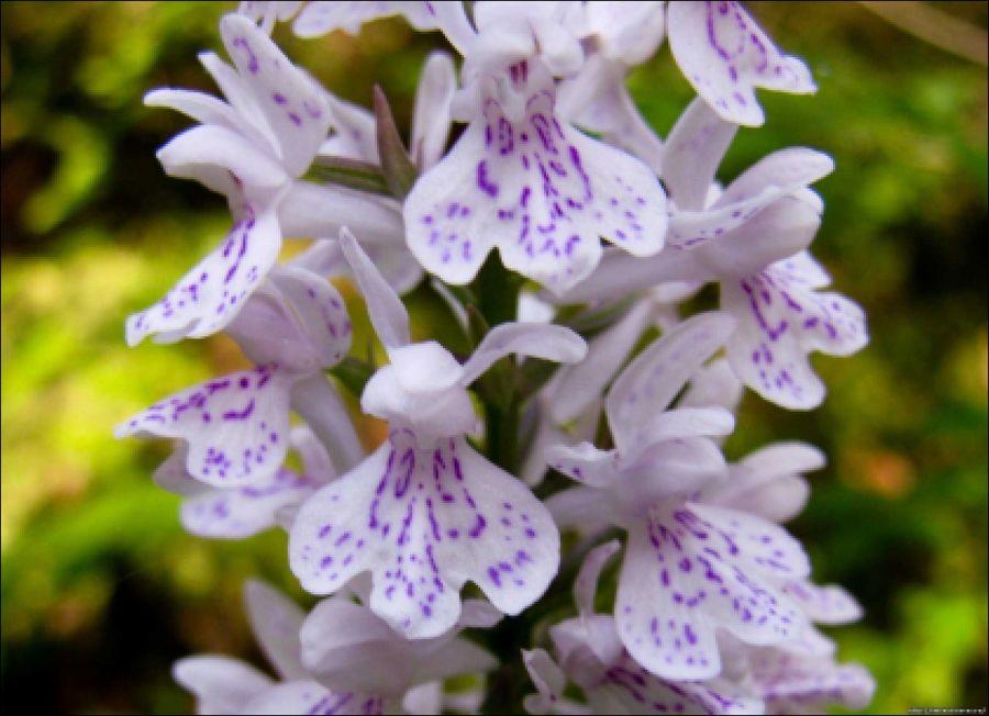 Северная орхидея: выращивание ятрышника в саду - prosad.ru ...