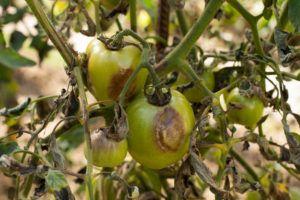 Поражённые фитофторой томаты