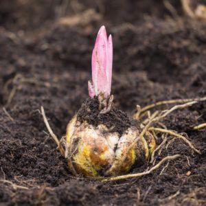 Прорастание луковицы