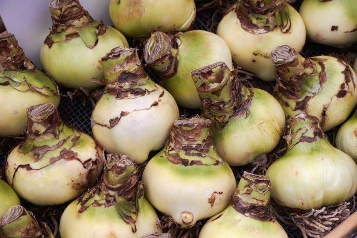 Луковицы лилий Белладонна
