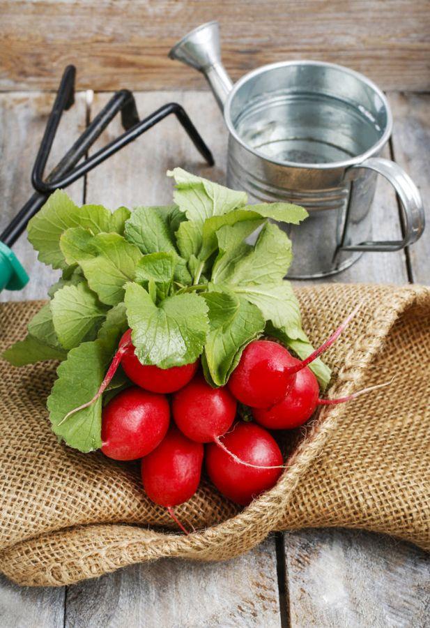 Только при хорошем поливе редис даёт сочные, вкусные плоды