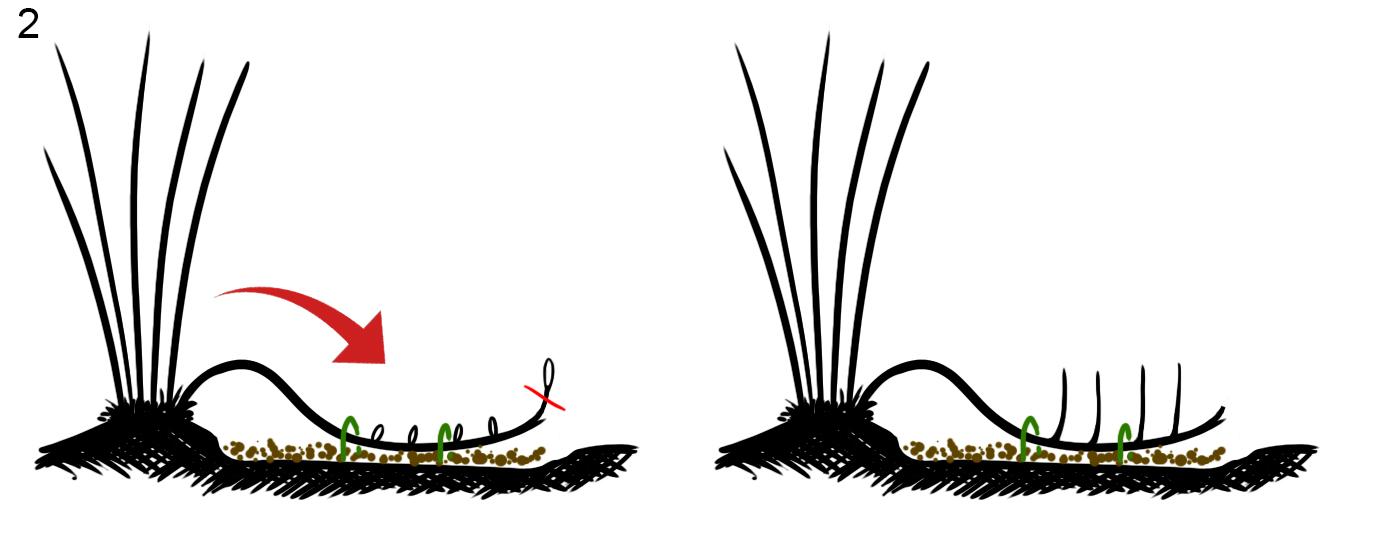 Вегетативное размножение фундука горизонтальными отводками