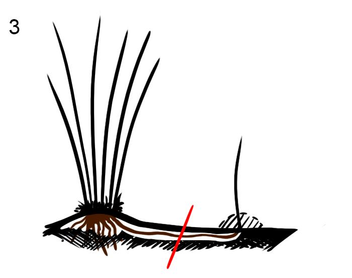 Вегетативное размножение фундука вертикальными отводками