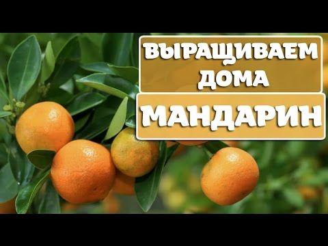 Особенности выращивания мандарина из косточки - prosad.ru ...