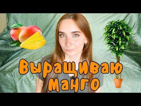 Несколько секретов, как вырастить манго в домашних ...