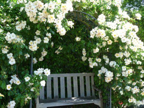 Обвитая плетистой розой скамейка