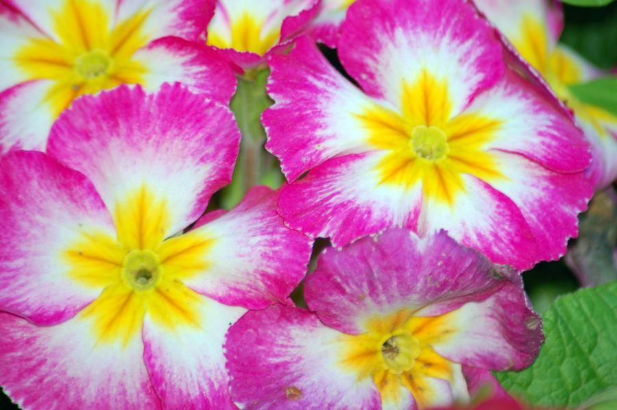 """""""Глазастые"""", многоцветные флоксы хороши в обрамлении однотонных цветов"""