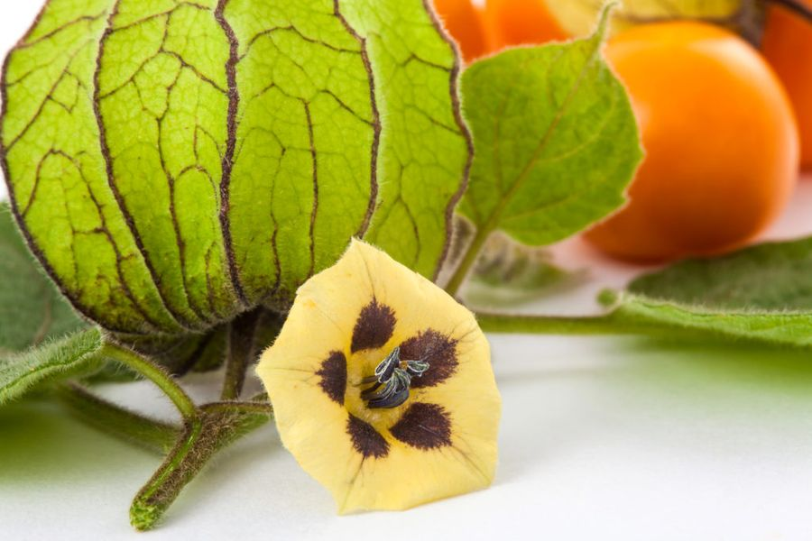 Физалис ягодный широко используют в кондитерских изделиях
