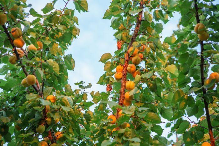 Крону абрикоса, выращенного из косточки, формировать необходимо до и после плодоношения