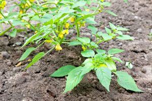 Физалис ягодный высаживают плантациями или плотной грядкой