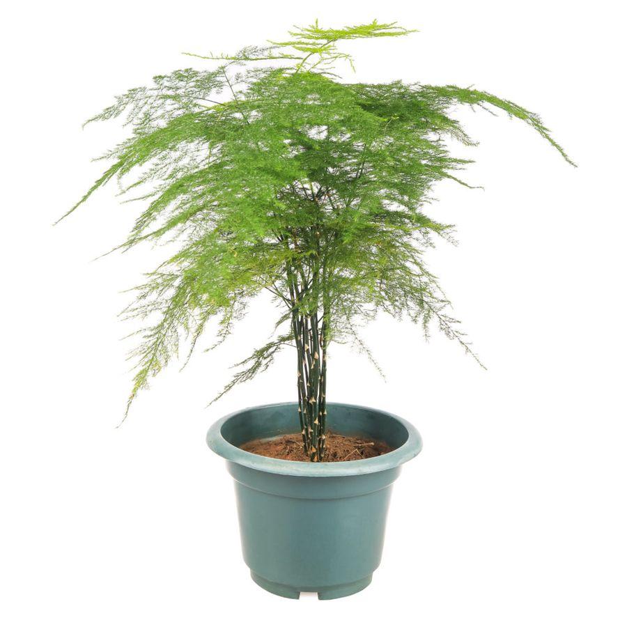 Аспарагус в России больше известен как декоративное растение
