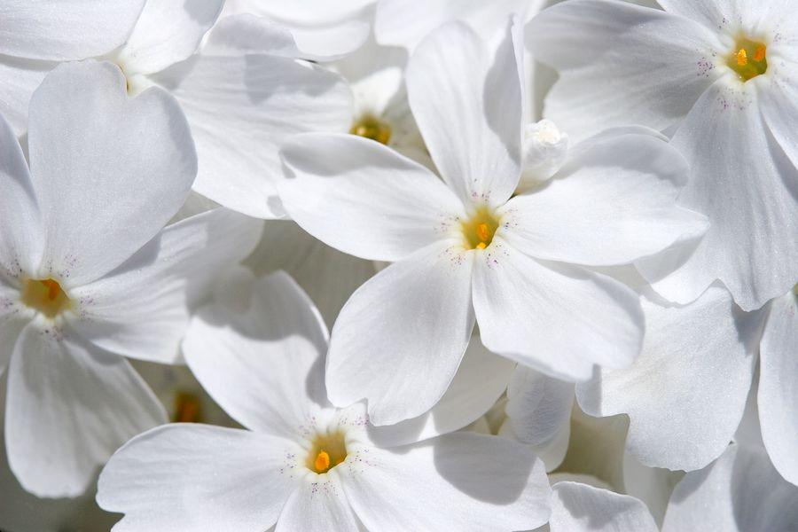 Флоксы отличаются друг от друга не только цветом, но и размерами, сроками цветения