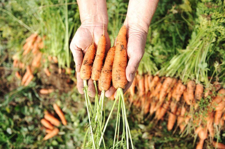 Морковь хранить следует отдельно от других овощей