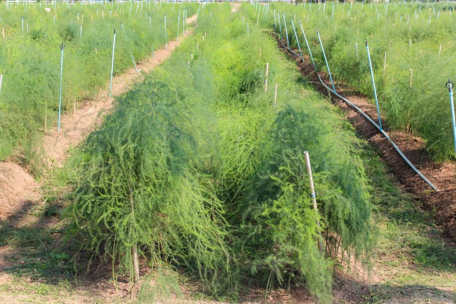 Во многих странах аспарагус высаживается плантациями