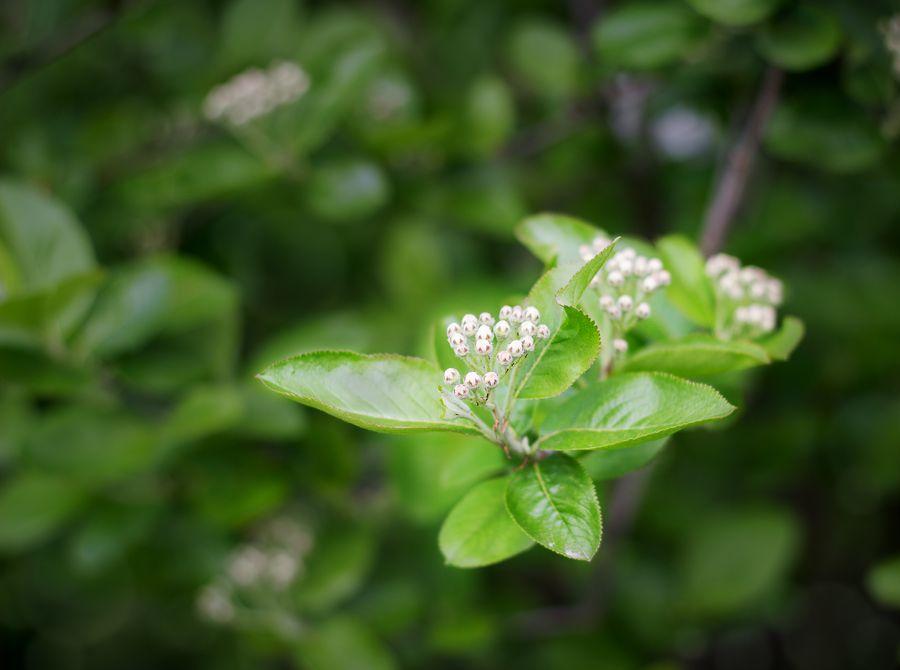 Цветки у аронии - мелкие, белые, распускаются на две недели