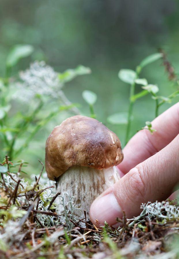 Размещать грибницы нужно под теми деревьями, под которыми растут определённые виды
