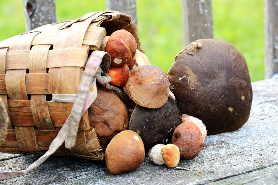 Урожай грибов можно собирать уже через пару лет после высадки грибницы