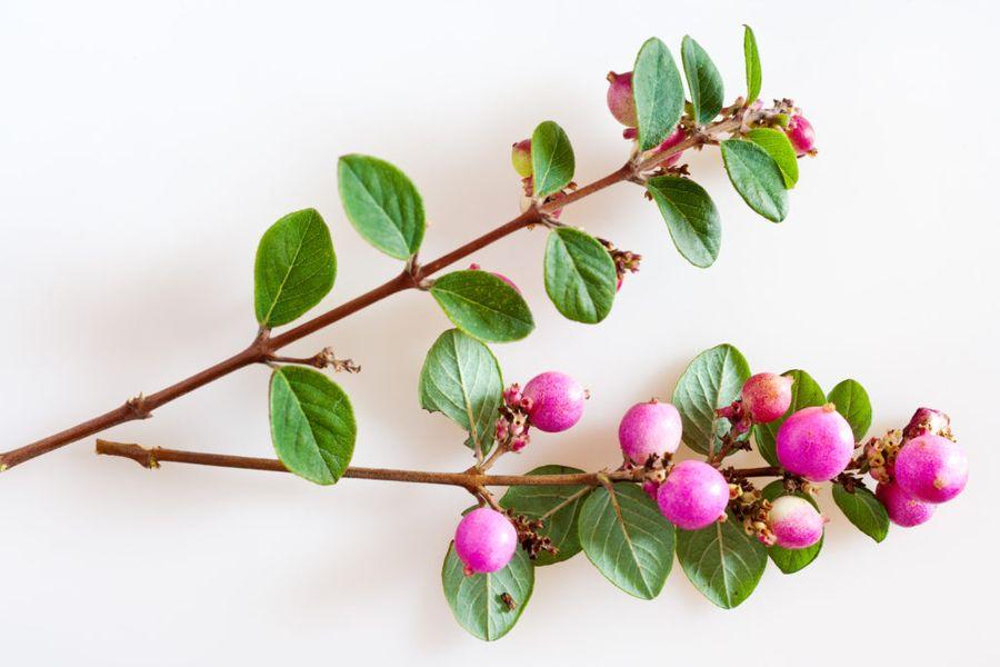 Снежноягодник округлый - кустарник с розовыми плодами