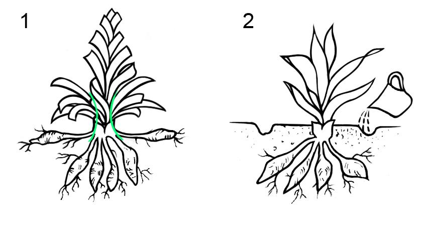 1 Схема деление куста лилейника; 2 Схема высаживания деленки.