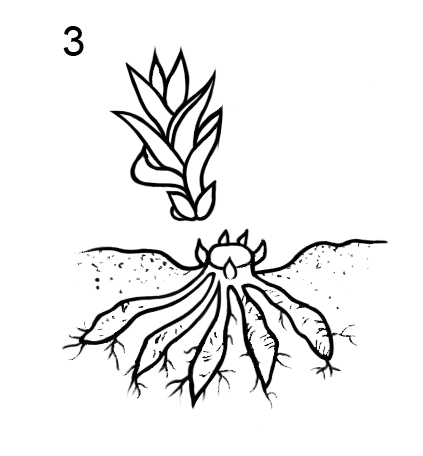 Способ вегетативного размножения лилейника при помощи получения новых побегов с маточного растения